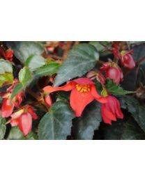 Begonia Summerwings Coral Elegance