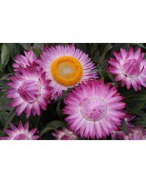 Sunbrella Pink