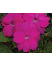Sunpatiens Compact Hot Lilac