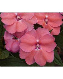 Sunpatiens Vigorous Pink Pearl