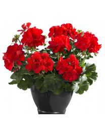 Pelargonia Champion Fire Red