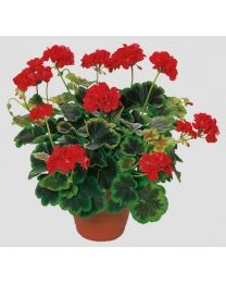 Pelargonia Occold Shield
