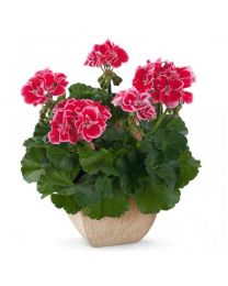 Pelargonia Spanish Wine Burgundy