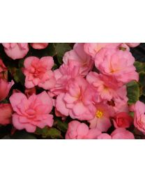 Begonia Cottage Glory Pink