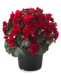 Begonia Cottage Vermillion Red
