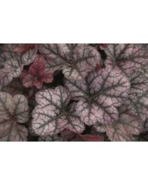 Heuchera Little Prince