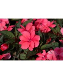 Sunpatiens Compact Coral Pink