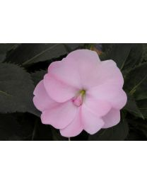 Sunpatiens Vigorous Blush Pink
