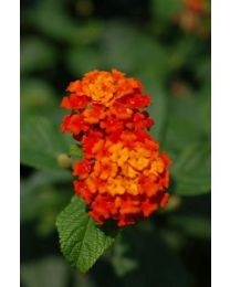 Lantana Calippo Red