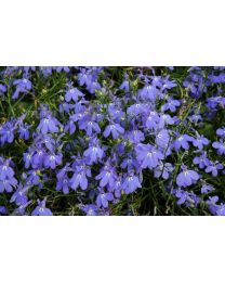 Lobelia Blue Star