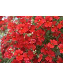 Sunsatia Cranberry