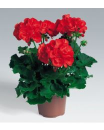 Pelargonia Anthony