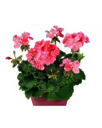 Pelargonia TRENDIX Flic Flac Red
