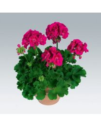 Pelargonia Flower Fairy Berry