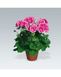 Pelargonia Flower Fairy Rose