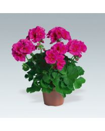 Pelargonia Flower Fairy Violet