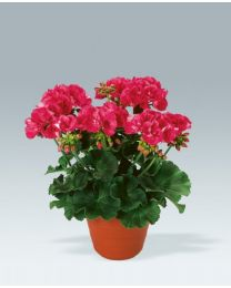 Pelargonia Shocking Pink