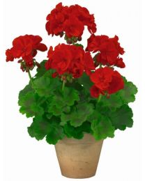 Pelargonia TRENDIX Dark Red