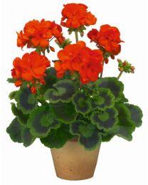 Pelargonia TRENDIX Orangel