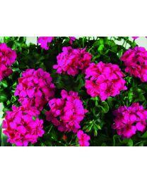 Pelargonia BigX Neon Pink