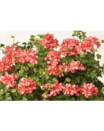 Pelargonia Mexica Ruby