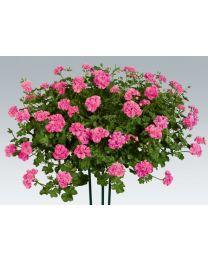Pelargonia Pink Sybil