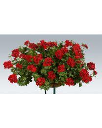 Pelargonia Ruby