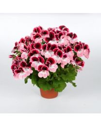 Pelargonia Grandiflora Aristo Darling