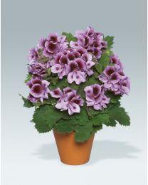 Pelargonia Angielska Aristo Lavender