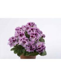 Pelargonia Angielska Aristo Orchid