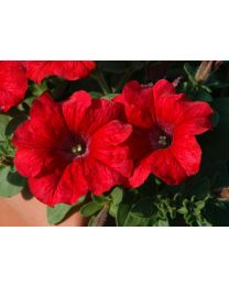 Supertunia Chilli Red