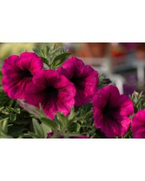 Supertunia Merlot
