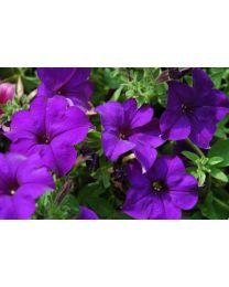 Petunia Veranda Dark Blue