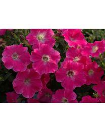 Petunia Veranda Hot Pink