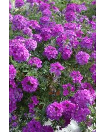 Verbena Tapien Purple