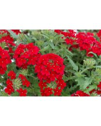 Verbena Vepita Dark Red