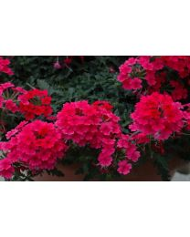 Verbena Vepita Hot Pink