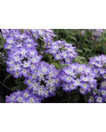 Verbena Vepita Lavender White