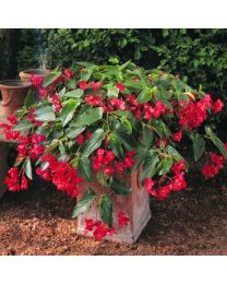 Begonia Dragon Wing Red 153 szt