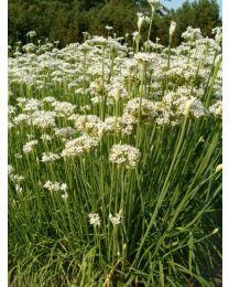 Allium tuberosum 260 szt