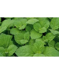Mentha suaveolens Apple Mint