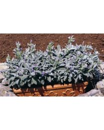 Salvia officinalis Nazareth