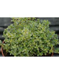 Thymus citriodorus Variegated