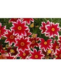Coreopsis Ruby Frost