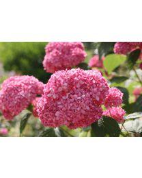 Hydrangea Pink Annabelle 12 cm.