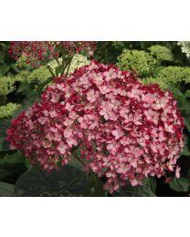 Hydrangea Ruby Annabelle 12 cm.