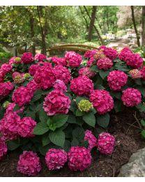 Hydrangea Endless Summer Summer Love 12 cm