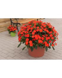Sunpatiens Vigorous Orange Imp