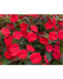 Sunpatiens Vigorous Red
