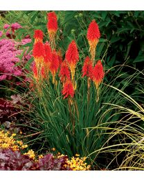Kniphofia Papaya Popsicle